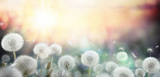 Field Of Dandelion In Sunset Stock Photo