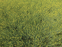 Field Of Flowering Rape. Top View From The Drone. Rape, A Syderatic Plant With Yellow Flowers. Field With Siderates Stock Photo