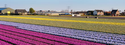 Field Of Flowers. Panorama Royalty Free Stock Images