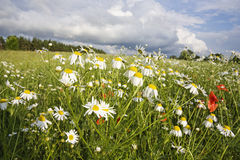 Field Of Flowers, Summer Royalty Free Stock Images