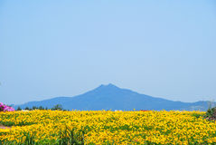 Field Of Flowers With Volcano Royalty Free Stock Image