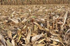 Field Of Freshly Cut Corn Stalks Stock Images