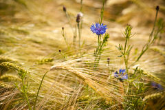 Free Field Of Golden Grain Stock Photo - 23127930
