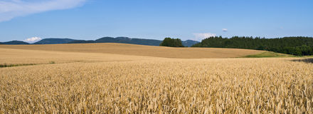 Free Field Of Golden Grain Royalty Free Stock Images - 26812499