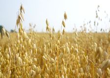 Free Field Of Golden Oats Royalty Free Stock Photos - 102939548