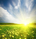 Field Of Grass With Dandelion In Sunset Royalty Free Stock Images