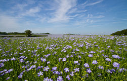 Free Field Of Linseed Or Flax In Flower Stock Photos - 14911753