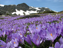 Field Of Mountain Crocuses Royalty Free Stock Photography