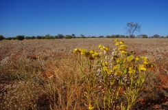Field Of Paper Daisies In The Australian Desert Stock Image