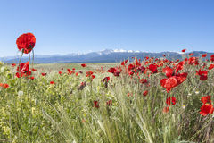 Field Of Poppies Stock Images