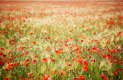 Field Of Poppies, And Rye Stock Photos