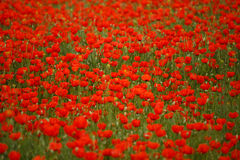 Free Field Of Poppies On A Sunset Stock Images - 94268514