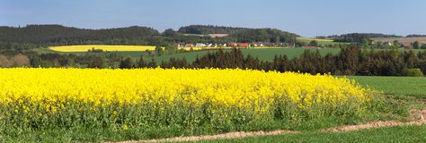 Free Field Of Rapeseed, Canola Or Colza Royalty Free Stock Photo - 126461995