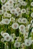 Field Of Ripe Dandelions