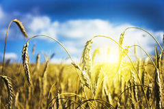 Field Of Ripe Wheat Royalty Free Stock Images