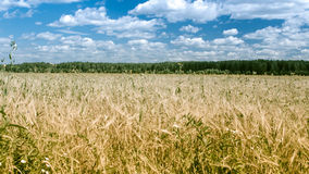 Field Of Rye Stock Photography