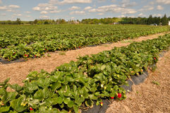 Field Of Strawberries Stock Image