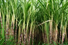 Field Of Sugar Cane Royalty Free Stock Photos