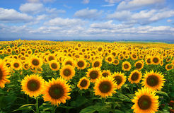 Free Field Of Sunflowers Royalty Free Stock Photo - 58488425