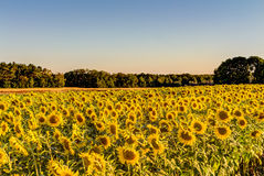 Free Field Of Sunflowers Stock Photo - 75922960