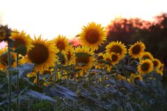 Free Field Of Sunflowers.Sunflowers Against The Sun. Landscape From A Sunflower Meadow Royalty Free Stock Image - 194216656