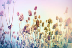 Field Of Thistle Stock Images