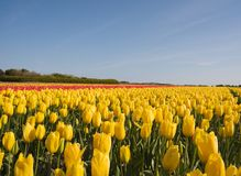 Free Field Of  Tulips Royalty Free Stock Image - 13789086