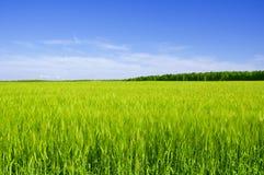Free Field Of Wheat Stock Photo - 10635760