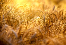Free Field Of Wheat In The Late Afternoon Royalty Free Stock Photo - 36781055