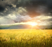 Field Of Wheat With Ominous Clouds Royalty Free Stock Image