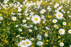 Free Field Of Wild Dasies Compalation Stock Images - 118904214