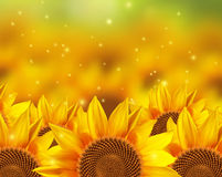 A field off beautiful sunflowers Royalty Free Stock Photos