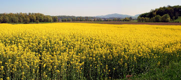 Field of oil seed rape Royalty Free Stock Image
