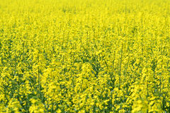 A field of oil seed rape (Brassica napus). A full frame photo of a field of rape in bloom, the focus on the centre ground Stock Photos