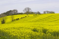 A field of oil seed Rape in flower in a County Down field royalty free stock photos
