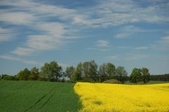 Field of oilseed rape Stock Photos