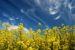 Field of oilseed rape Stock Photography