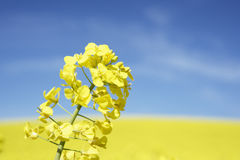 Field Of Oilseed Royalty Free Stock Image