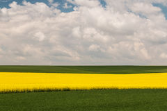 Field with oilseed rape. Agriculture with yellow rapeseed in bloom Stock Photography