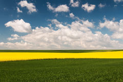 Field with oilseed rape. Agriculture with yellow rapeseed in bloom Royalty Free Stock Image