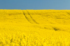 Field with oilseed rape. Agriculture with yellow rapeseed in bloom Royalty Free Stock Photos