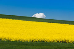 Field with oilseed rape. Agriculture with yellow rapeseed in bloom Stock Photos