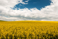 Field with oilseed rape. Agriculture with yellow rapeseed in bloom Stock Images