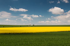 Field with oilseed rape Stock Photo
