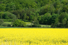 Field of Oilseed Rape Canola with Tree Line in Distance Royalty Free Stock Images