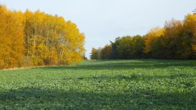 Field of oilseed crop. And colorful trees in October, Czech Republic stock images