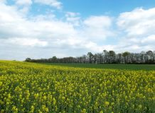 Field of oilseed. By the road in hungary royalty free stock images