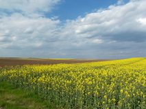 Field of oilseed. By the road in hungary stock photo