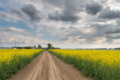 Field of oilseed rape Royalty Free Stock Photos