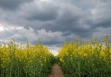 Field of oilseed rape Stock Photo